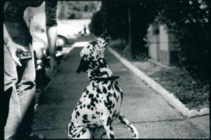 Jumping Dalmation by gailexie