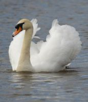 Swans 2014 2 3 by melrissbrook