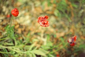 Wilted Poppies by PoisonGirl-sts