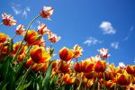 Up the tulips by Vironevaeh
