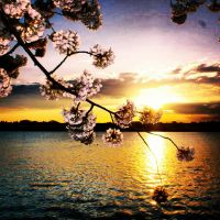 tidal basin blossom by PhorionImaging