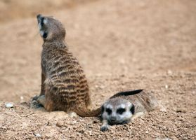 Suricata III by DSPHolthaus