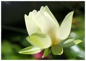 Lotus by CTP