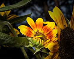 SunSet Flowers by drhine