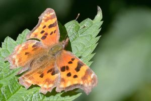 Comma Butterfly by FeralWhippet