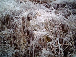 Ice plants by thelcru