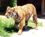 tiger 3 by turtledove-stock