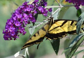 Swallowtail Butterfly 2 by timewhorl