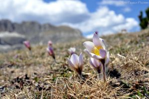 Carpet of alpine flowers IV by lailalta