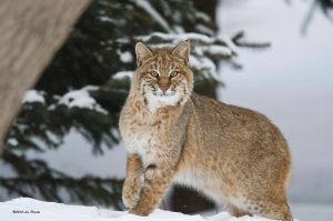 Winter Bobcat 2 by Les-Piccolo