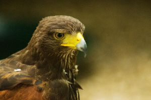 Hawk1 by mirotae