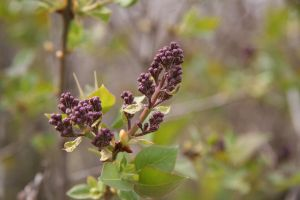 Green Grow the Lilacs 3 by WalnutHill