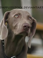 Weimaraner 02 by dappledstock