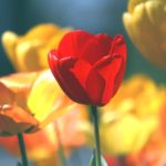 A Red Tulip by incolor16