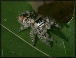 Jumping spider 20D0038041 by Cristian-M
