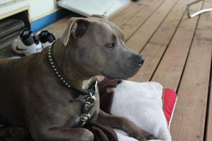 Pit bull by Houndoomlover1