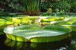 victoria royal giant waterlily by Jantiff-Stocks
