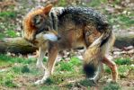 Mexican Gray Wolf 014 by makaylasophia