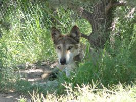 LD August 14: Mexican Wolf 18 by FamilyCanidae