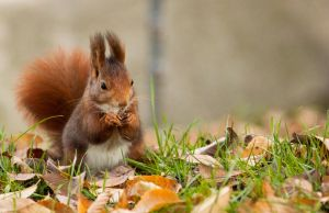 Red Squirrel by TheHoodedMan