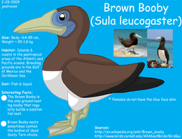 Brown Booby Reference by WildLifeWarriors