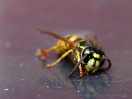 Snoozing Wasp by Xs9nake