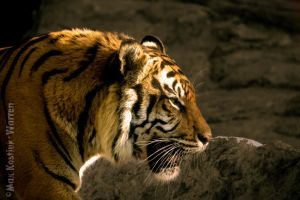 Sumatran Tiger by MaxK-W