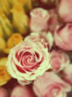 Roses by simplyloly