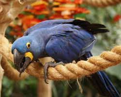 Hyacinth Macaw 2 by EdgedFeather