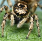 uk jumping spider -  crop by macrojunkie