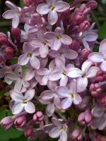 lilacs by lordelementus