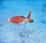 Sea Turtle in Puerto Rico by Rourke-1