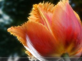 WP Upside Up Tulip by sweetlilfly