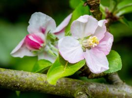 Apple blossom by AngelsOdyssey