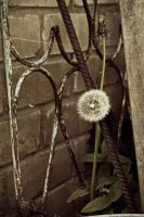 Very lonely dandelion by valante