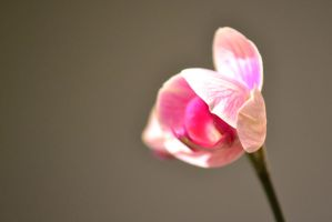 Lighted Orchid by SachiyeKazumi