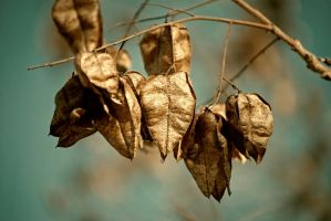 Dried Pods in the Sun by redwolf518