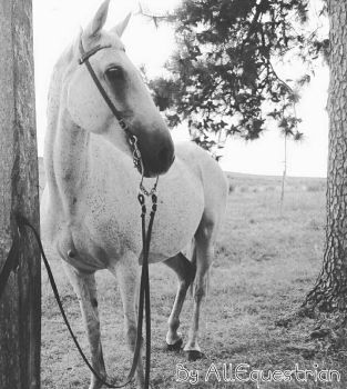 Crystal by AllEquestrian  by AllEquestrian