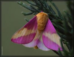 Rosy Maple Moth 50D0000403 by Cristian-M