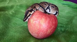 Python with apple 04 by MelieMelusine