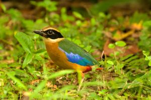 blue-winged pitta by avarenity