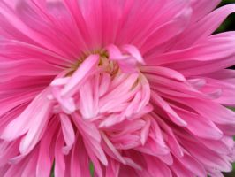 pink Aster 230 by Halla51
