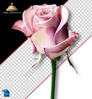 Pink Rose by HJR-Designs