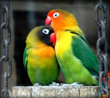 Eye Ring and Masked Lovebirds Agapornis Personatus by Cloudwhisperer67
