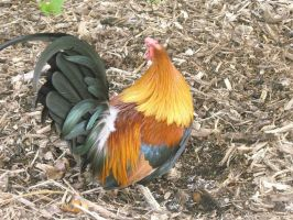 Minnesota Zoo: Rooster 2 by Rahal-Stmin