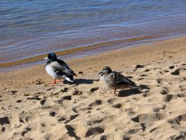 AthenaStock::Ducks on Beach 3 by AthenaStock