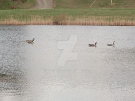 Geese by Wolfbird14