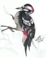 the spotted  woodpecker by TheAkanemnon
