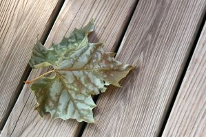 leaf on wood texture rockinDdesigns stock by debsrockine