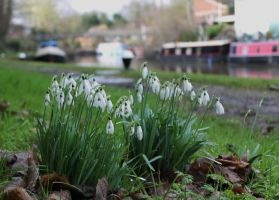 snowdrops by loganmiracle